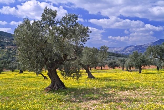 bigstock-olive-grove-2753045